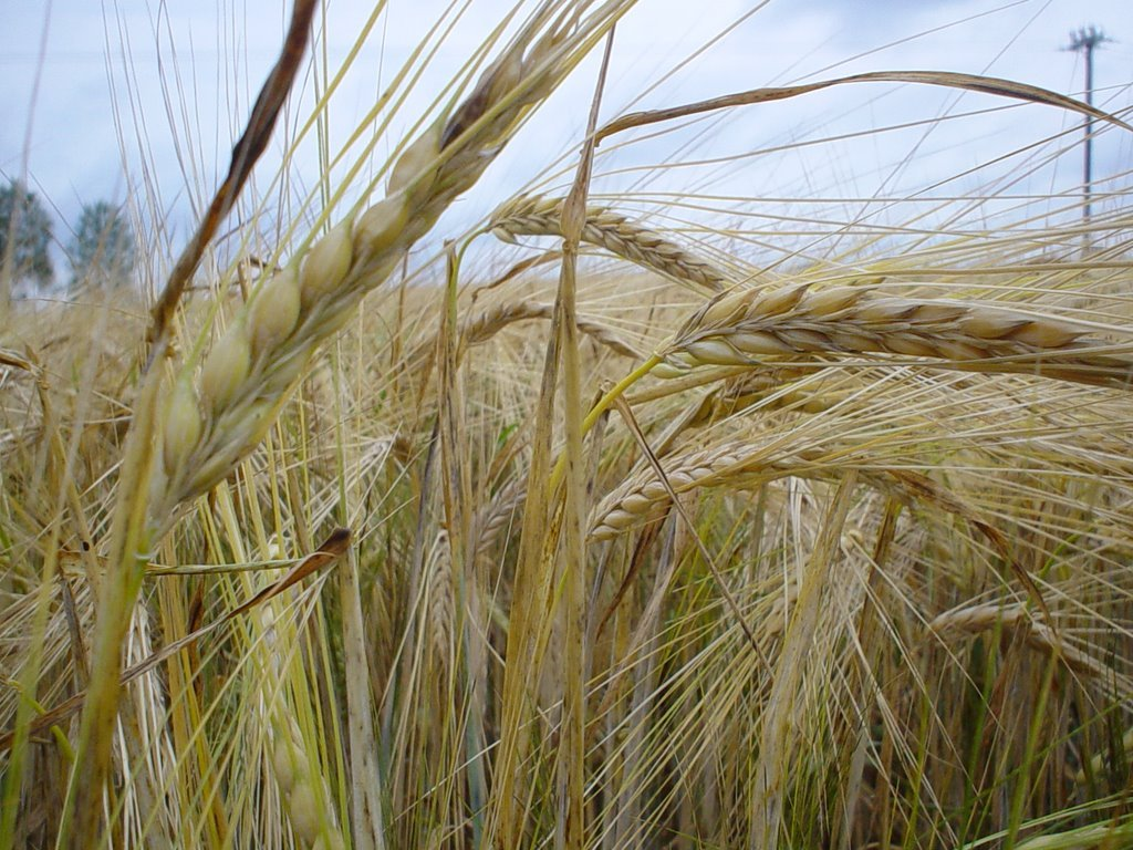 North American Farmers Plant Record Acres Of Rye This Year