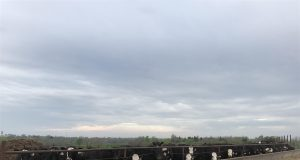 cattle,cows,feedlot